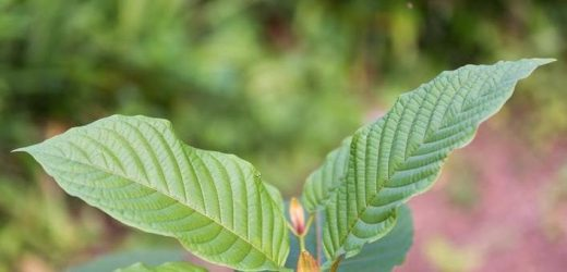 All You Need To Know About Kratom